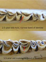 Whitetail Jawbone Aging Chart Dentine Method Aging White Tailed Deer By Tooth