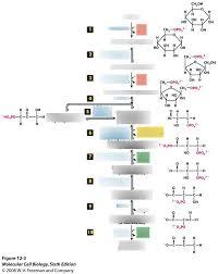 Glycolysis Flow Chart Diagram Quizlet