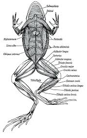 Parts Of A Frog Parts Frog Head Diagram Labeled Of Animal Cell For Class 9