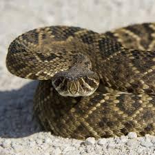 Eastern Diamondback Rattlesnake National Geographic