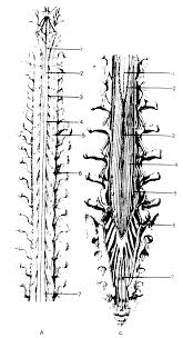 Реферат Центральная нервная система спинной мозг com  С