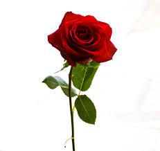 Магические свойства розы