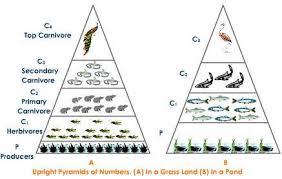 Ecosystem Pyramid Chart Energy Flow Through An Ecosystem Ecological Pyramids Pmf Ias