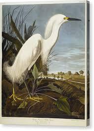 white heron canvas print snowy heron by john james audubon on heron canvas wall art with white heron canvas prints fine art america