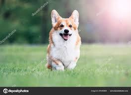 Red dog welsh corgi pembroke for a walk ...