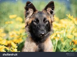 Belgian Shepherd Dog Tervueren Yellow ...
