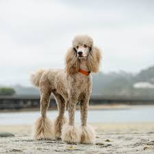 why poodles are so often misunderstood