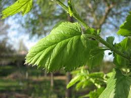 Image result for downy hawthorn tree leaves