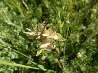 Serapias perez-chiscanoi - Wikipedia, la enciclopedia libre