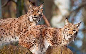 lynx HD wallpapers, backgrounds