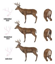 Drawingdeer 6 7 Black Tailed White Tailed Mule Deer