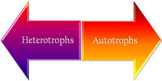 Producer And Consumer Venn Diagram Difference Between Heterotrophs And Autotrophs With