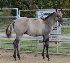 grulla horse facts with pictures