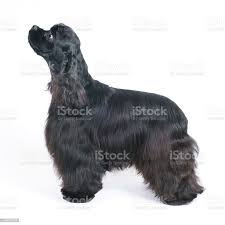 Black American Cocker Spaniel Dog ...