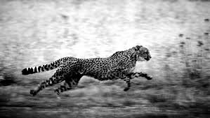 black and white cheetah wallpaper hd photo collection fogwlprs drawing