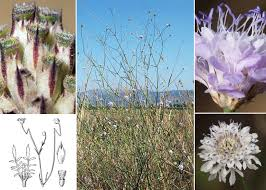 Cephalaria transsylvanica (L.) Roem. & Schult. - Sistema informativo ...