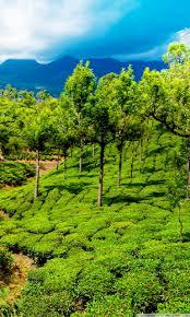 Green tea field, Kerala, India Ultra HD ...