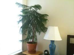 norfolk island pine repotting learn how to repot a norfolk island pine