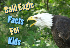 Small Picture Bald Eagle Facts For Kids Information Pictures And More