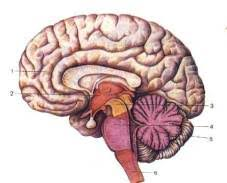 Головной мозг Рефераты ru В процессе развития стенки мозговых пузырей растут неравномерно либо утолщаясь либо оставаясь в отдельных участках тонкими и продавливаясь внутрь полости