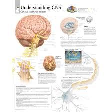 Understanding Cns Central Nervous System Chart