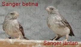 Mengenal lebih dekat burung gunung si flamboyan di lengkapi dengan perbedaan jantan dan betina. Download 63 Gambar Burung Flamboyan Jantan Dan Betina Keren Gratis