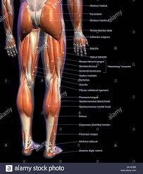 Labeled Anatomy Chart Of Male Leg Muscles On Black
