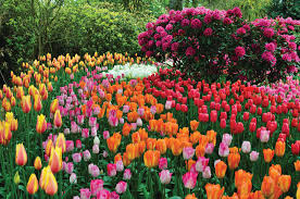 touring the tulips of the northwest
