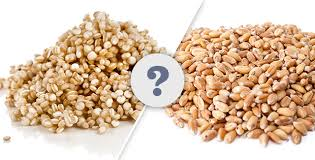 what is the difference between quinoa farro and wheat berries
