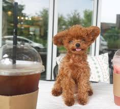 what is a teddy bear poodle