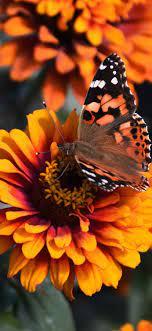 Zinnia flowers, orange petals ...