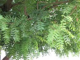 college essays college application essays neem tree essay essay on neem tree in marathi project lion