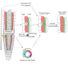 Proximity Chart Architecture Re Activation Of Stem Cell Pathways For Pattern Restoration