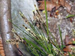 Carex ferruginea subsp. austroalpina
