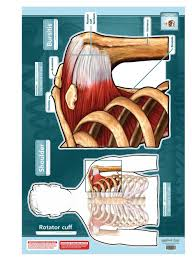 Chiropractic Wall Charts Shoulder And Rotator Cuff Sticky Wall Chart