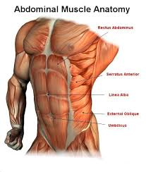 Stomach Muscle Chart Male Abdominal Muscle Anatomy Abdominal Muscles Anatomy