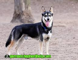 German Shepherd Husky Mix Growth Chart Male German Shepherd Name 2020 The Best Secret Guide To Know