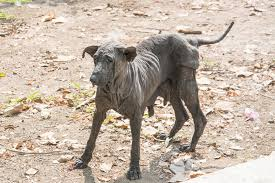 Black Skin Disease in Dogs - Symptoms, Causes, Diagnosis, Treatment ...