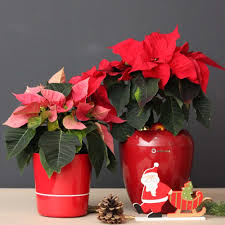 Pin Von Holly2 Auf At Home For Christmas Poinsettia Garden
