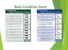 Purina Body Condition Score Chart The Top 10 Challenges Of Achieving Ideal Weight In Pets 2016