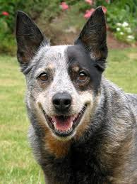 australian cattle dog 2 jpg