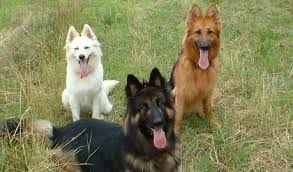 black and white spotted german shepherd. Brilliant White Colors Of GSDs Throughout Black And White Spotted German Shepherd O