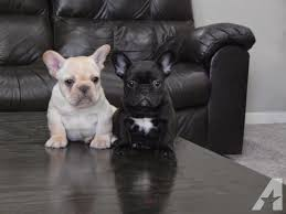 black french bulldog. Fine French Pets And Animals For Sale In Livingston California  Puppy Kitten  Classifieds Buy Sell Kittens Puppies Americanlistedcom On Black French Bulldog B
