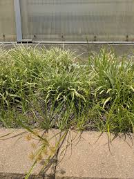 Nutsedge Herbicides Beyond Roundup Alternatives To Consider Adding To Your Weed