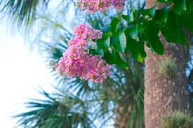 Pink Myrtle Photograph by Henry Mednikoff