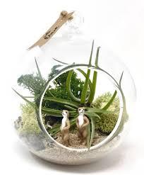 meerkat air plant terrarium kit