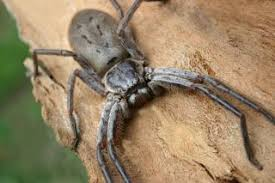 Arizona Spiders Identification Chart Giant Huntsman Spider Worlds Largest Spider By Leg Span
