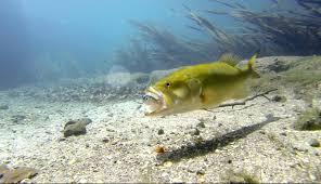 largemouth bass underwater. Interesting Largemouth Inside Largemouth Bass Underwater K