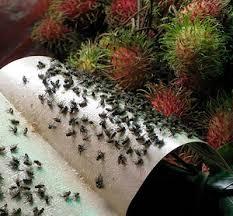 fruit flies malaysian fruit