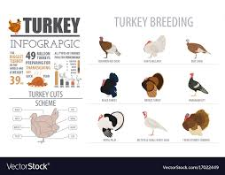 Poultry Farming Infographic Template Turkey